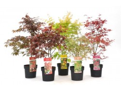 Acers Japanese Maples