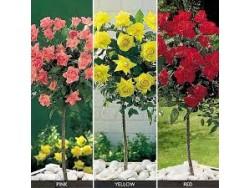 Standard Roses